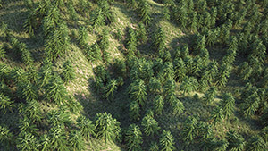VP Real Forest Wollemia Pine