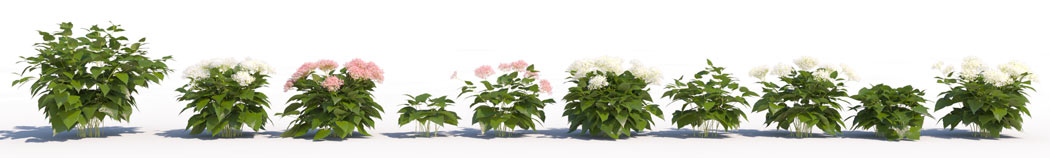 3D shrub models of Wild Hydrangea